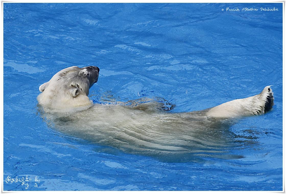 L'ours blanc (Ursus maritimus) ou ours polaire