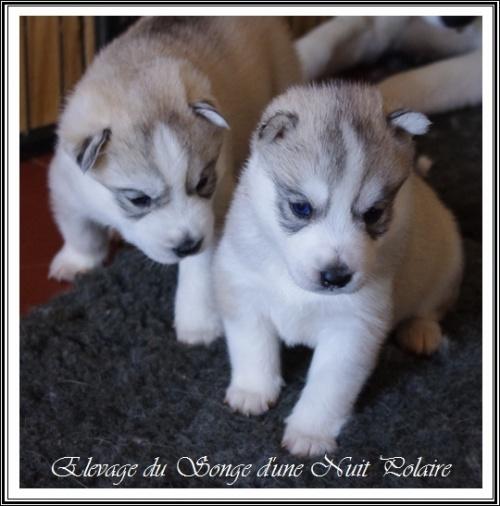 Elevage Husky Chiots (23 février)