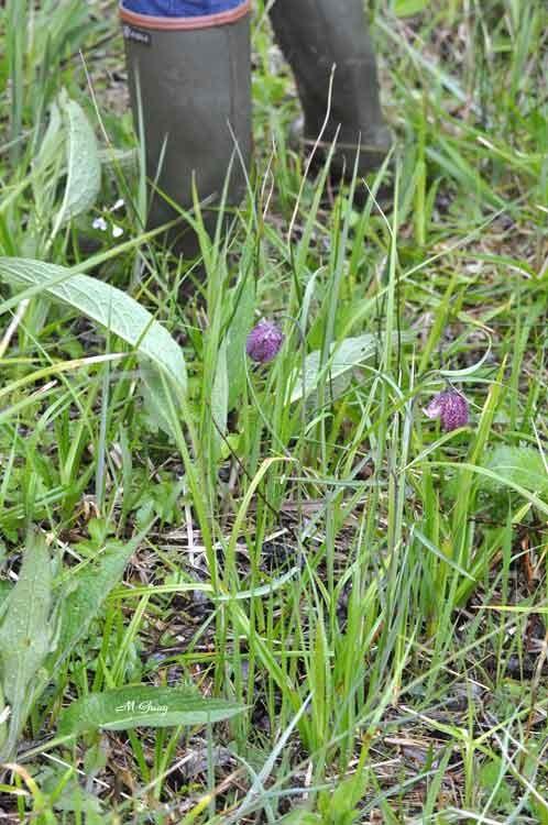tulipe-des-marais-3133.jpg