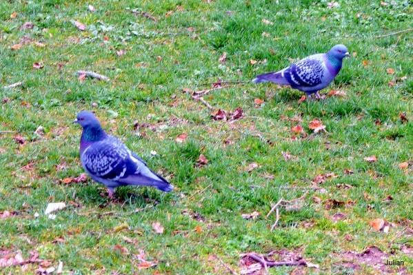 L04---2-pigeons.JPG
