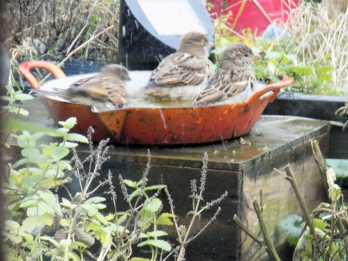 Les moineaux prennent leur bain