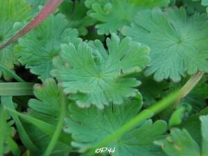 Géranium à feuilles molles