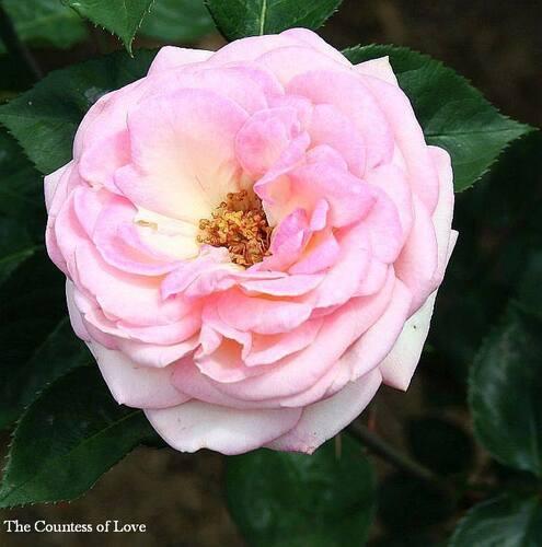 Les Roses de Warren : The Countess of Love