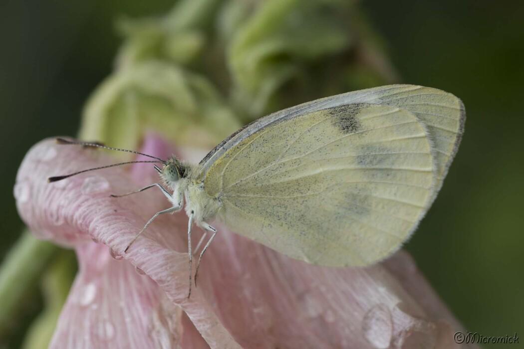 Papillon Piéride de la rave ( Pieris rapae)