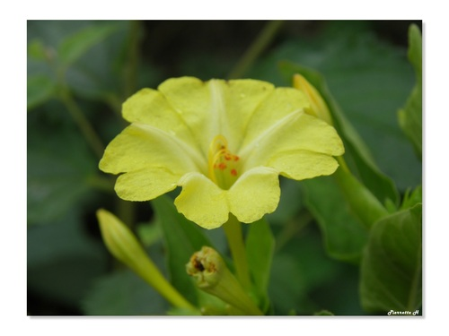 Belles de jour à fleurs jaune