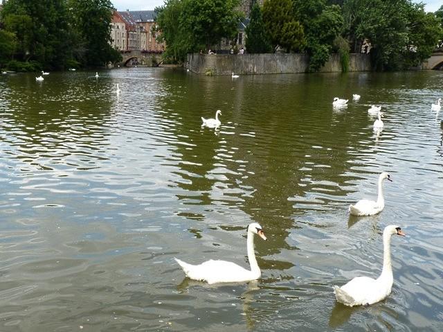 Metz les cygnes de la Moselle 5 été 2010