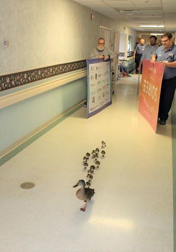 Chaque année, une maman canard parade dans un hôpital