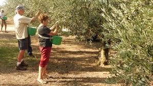 """Résultat de recherche d'images pour """"ramasser les olives"""""""