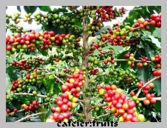 cafeier