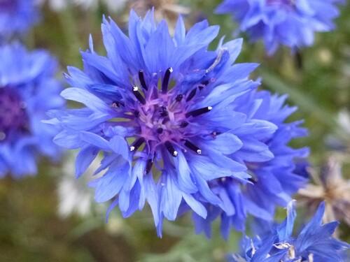 Chanson : Le bleu des bleuets - Georges Brassens