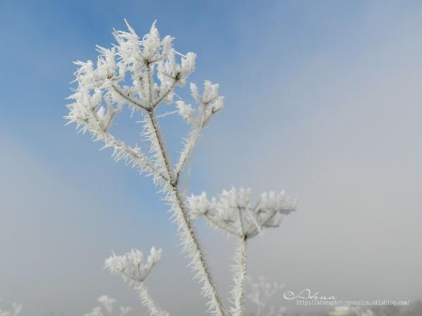 Série : Fleurs gelées