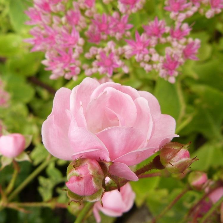 Le rosier petite françoise...une rose en septembre