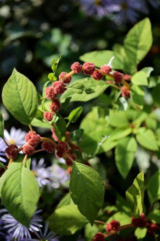 Des compagnes pour mes roses : Amaranthus