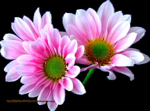 tubes fleuris en cadeau servez vous
