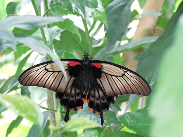 Scarlet swallowtail (Papilio rumanzovia