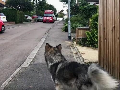 (-*♥*-) Cette femelle malamute s'installe quotidiennement au bord de la route, et hurle pour attirer l'attention du marchand de glaces.