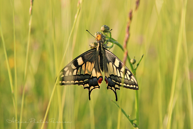 Grand Machaon
