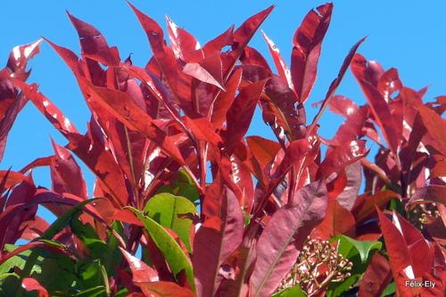 Des feuilles rouges !