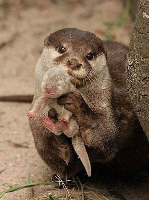 maman et bébé loutre - que de tendresse