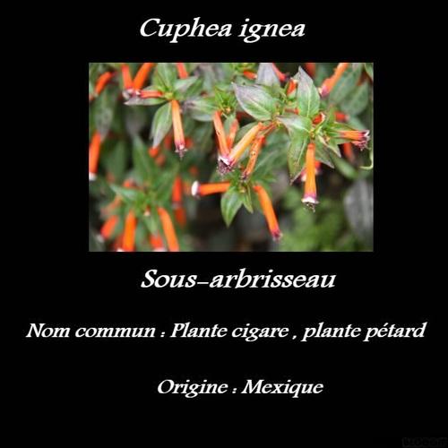 Cuphea ignea