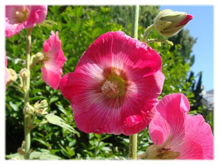 Roses trémières du jardin ...