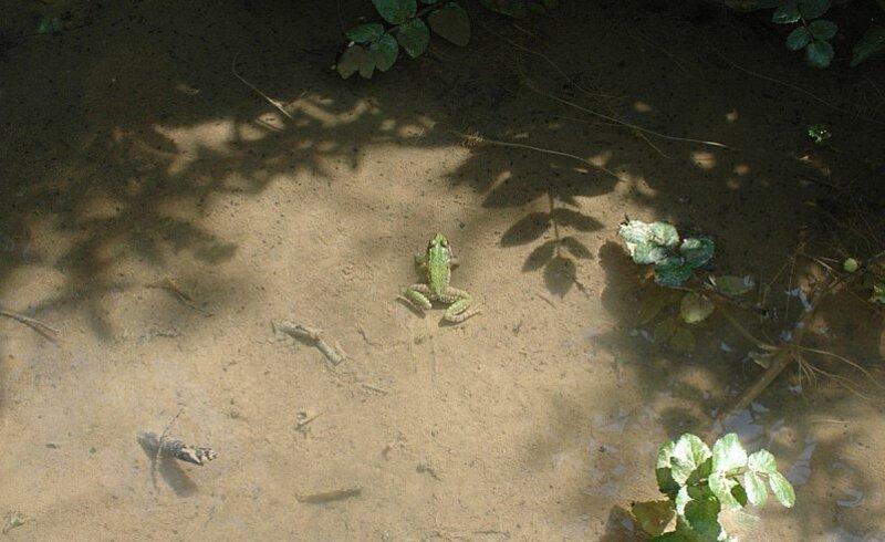 grenouille-desert