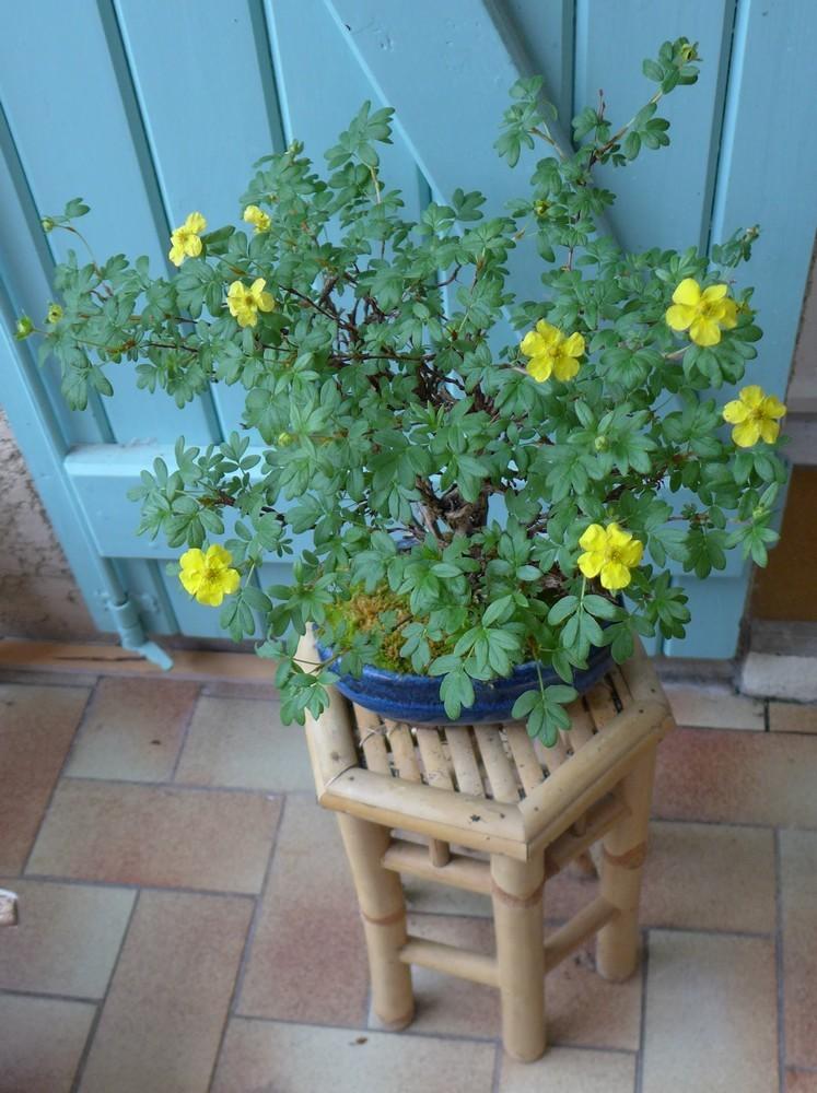 Une potentille en bonsaï...