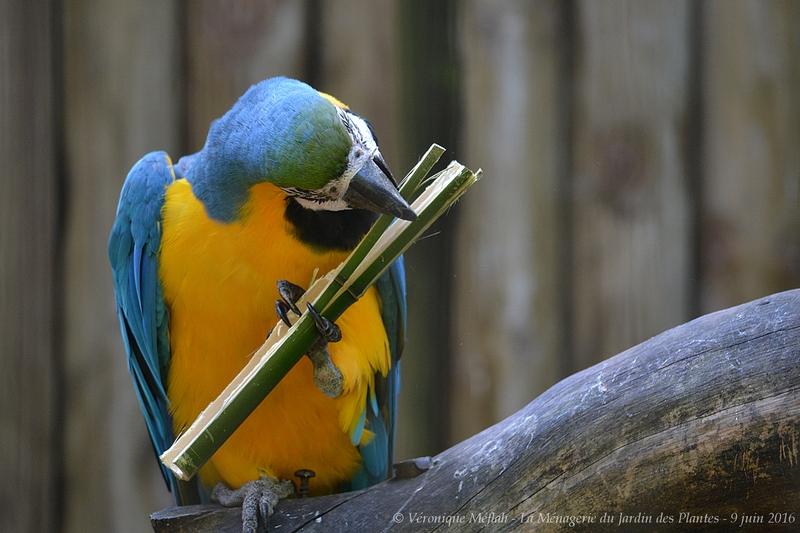 La Ménagerie du Jardin des Plantes : L'Ara bleu
