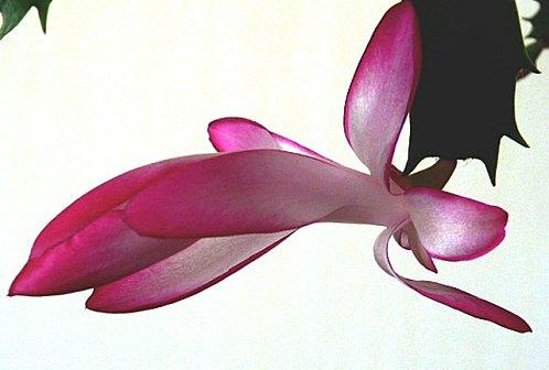 fleur-cactus-de-noel.jpg