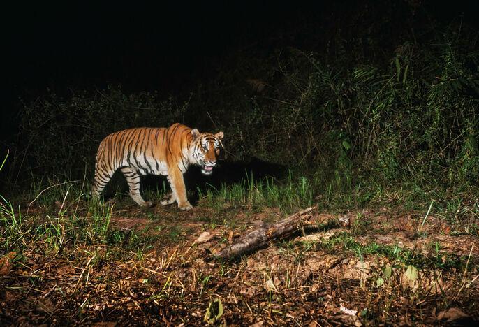 """Résultat de recherche d'images pour """"tigre de thailande"""""""