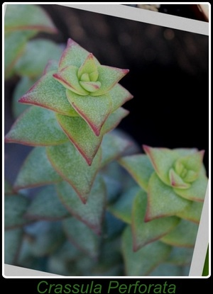 Crassula Perforata - 2015