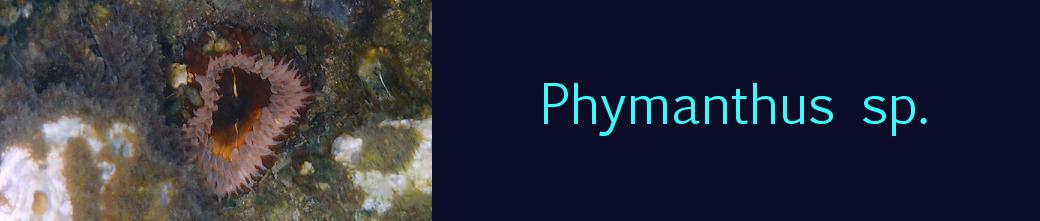 phymanthus sp.
