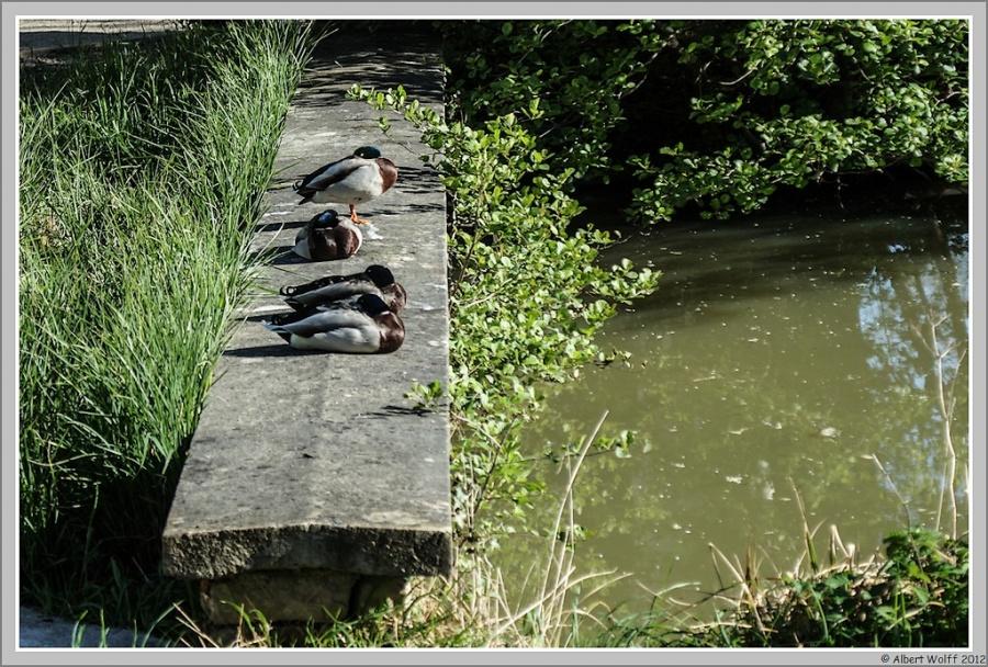 Mon post du jour - 04/05/2012 - Les canards