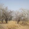 Mali Au nord de Kayes Nids de tisserins
