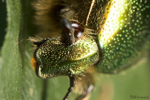 La Cétoine dorée (Cetonia aurata)