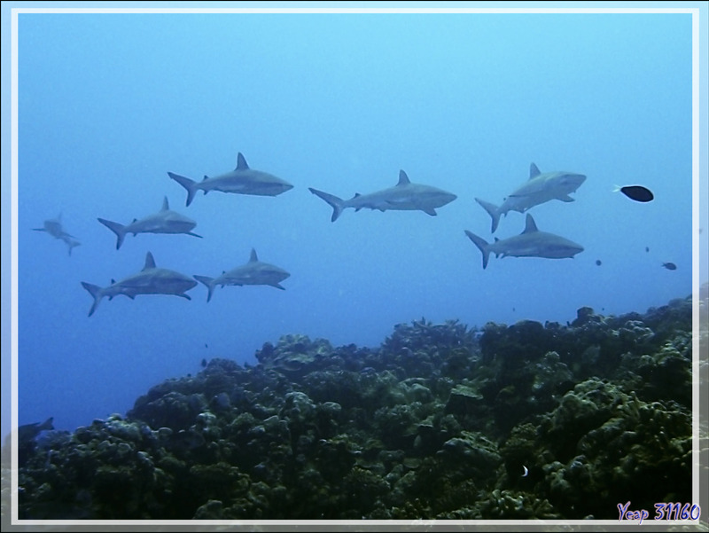 Face à face avec les requins - Passe Tumakohua - Fakarava sud - Tuamotu - Polynésie française