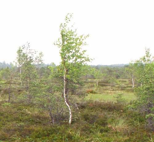 Vertus médicinales des arbres : BOULEAU