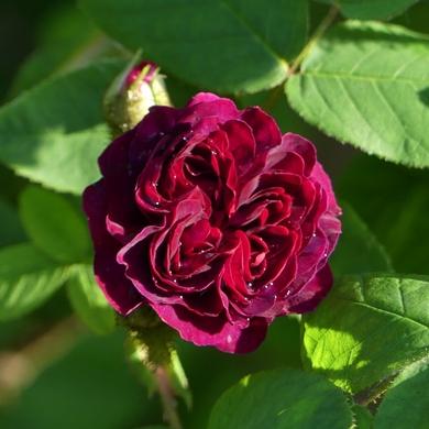 De l'iris à la rose...
