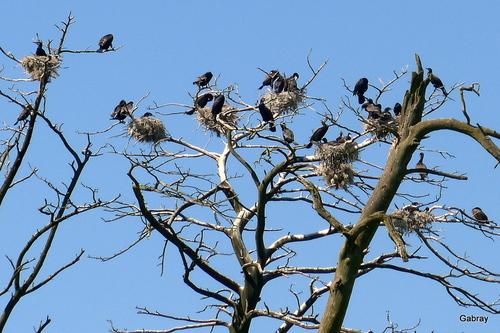 Presqu'île de Courlande : les cormorans ... n 1