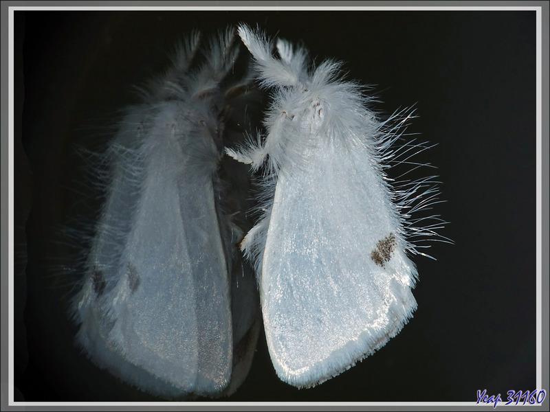 Papillon Bombyx cul-doré (Euproctis similis) - Lartigau - Milhas - 31