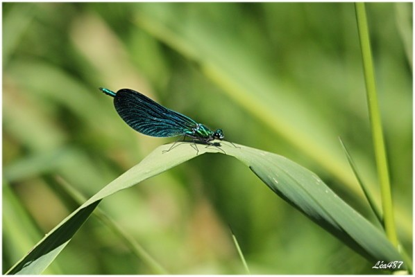 Insectes-2-1566-le-calopteryx-vierge.jpg