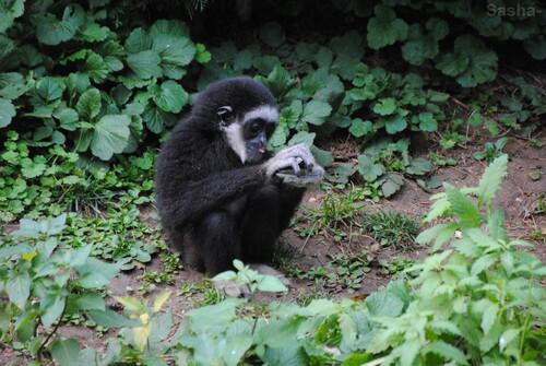 (2) Le gibbon à mains blanches.