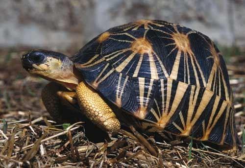 tortue-rayonnee.jpg