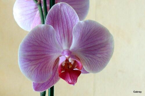 Orchidée et jacinthe ...