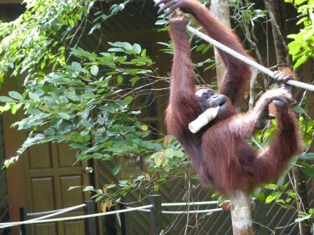 les orang-outans de bornéo