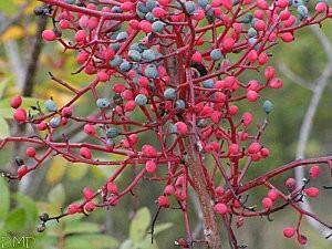 pistacia terebinthusfrts