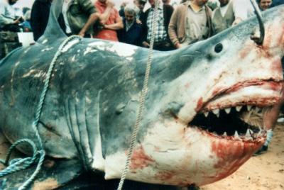 La chasse aux requins