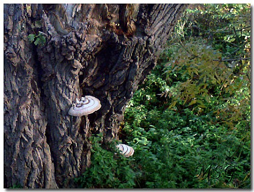 Vieil arbre 2