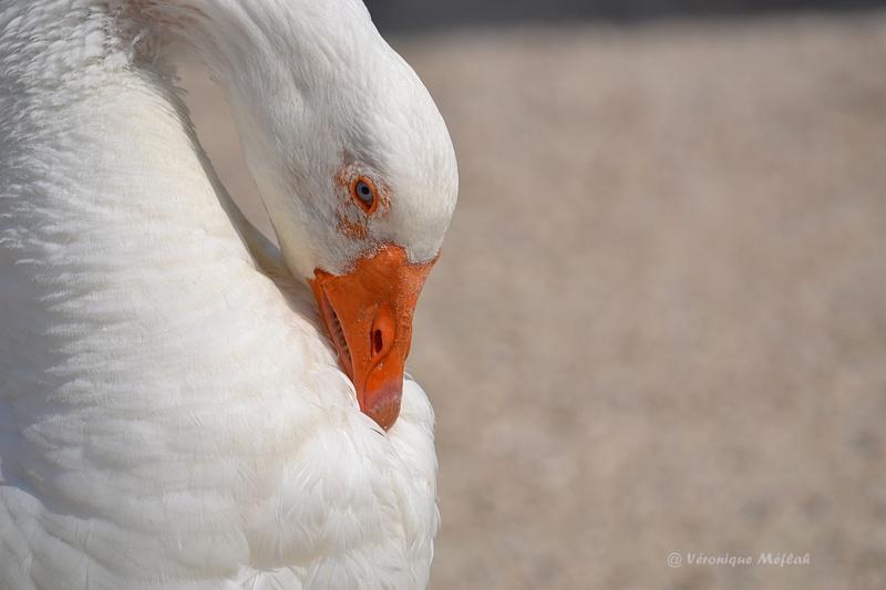 Rambouillet : les Oies