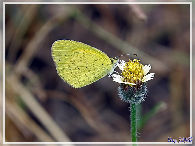 Papillon Common grass yellow (Eurema hecabe) - Victoria Falls - Zimbabwe